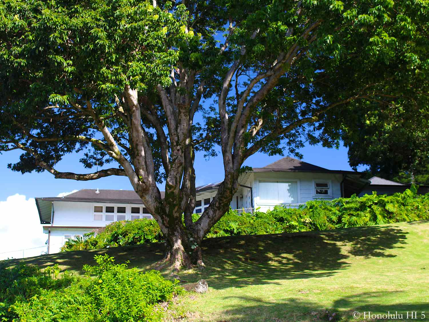 Dowsett Home in Honolulu Set On a Slope Behind  Large Tree