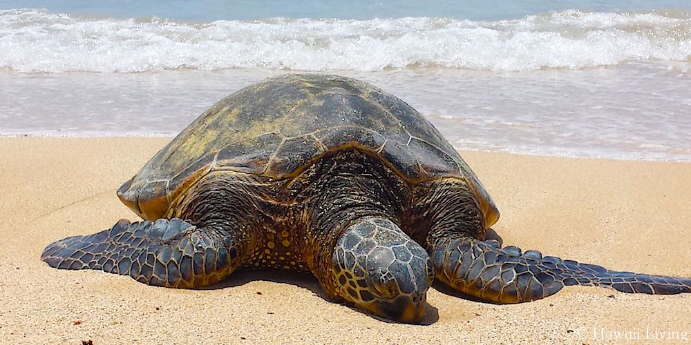 Hawaiian Green Sea Turtle - in Hawaiian called Honu