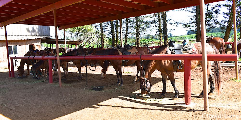 Gunstock Ranch Horses in Laie