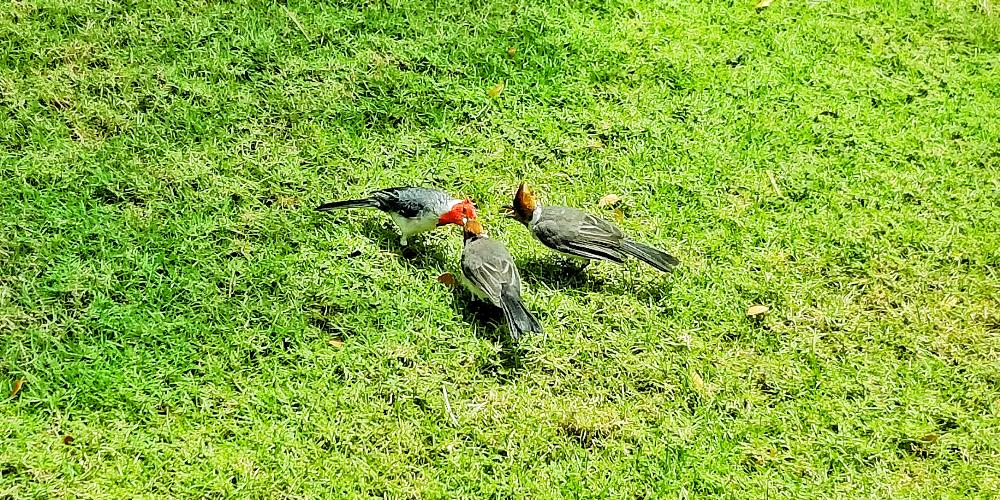 Three Brazilian Red-crested Cardinals