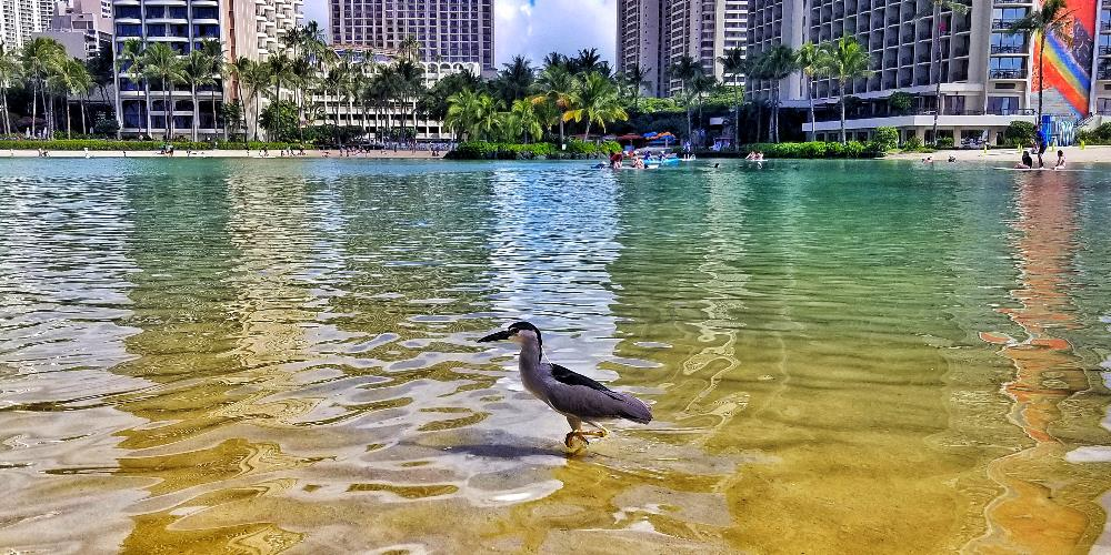 Hungry Hawaiian Bird In Lagoon